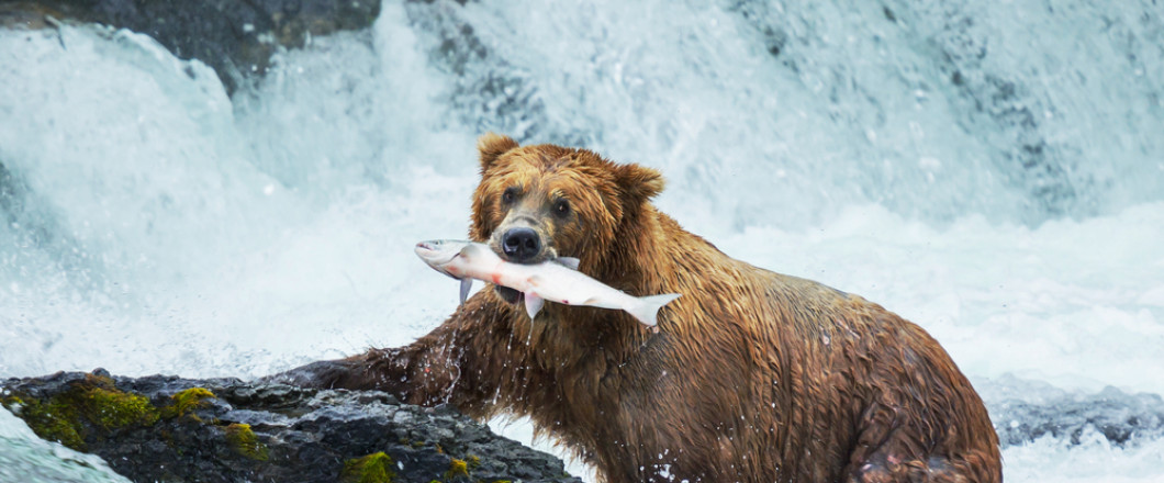 Learn about the bears of North America